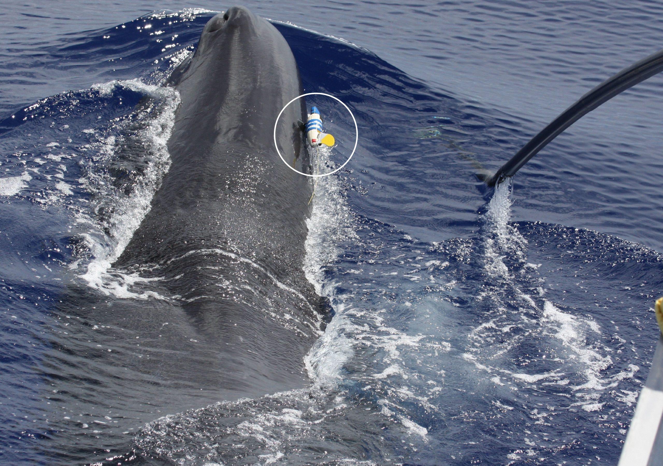 深海でダッシュするマッコウクジラ