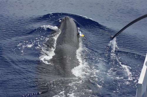 山谷友紀(やまやゆき)マッコウクジラ