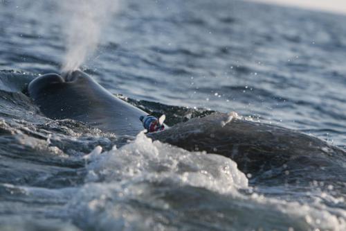 青木かがりマッコウクジラ